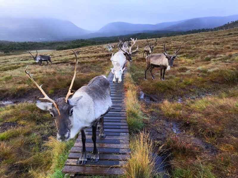 Cairngorm Reindeer - Anti Slip Decking Strips on Slippery Walkway