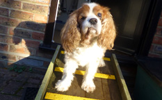 Charlie the cavalier dog, high vis, non slip decking strip ramp.