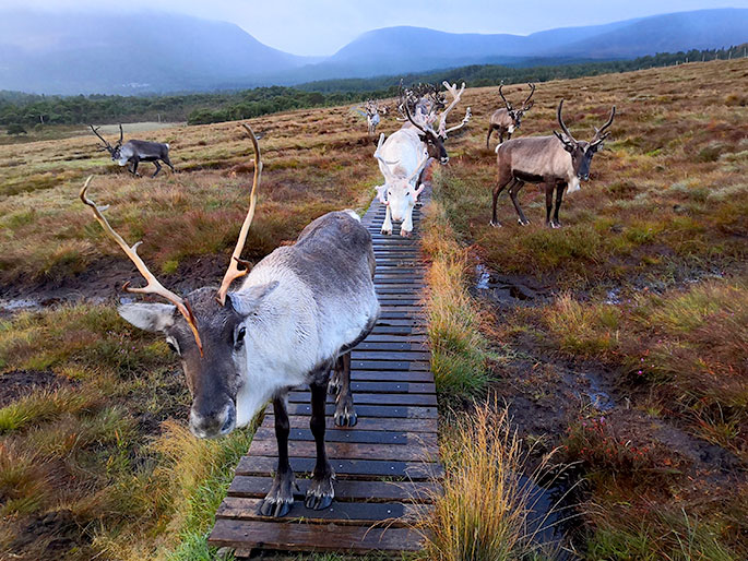 The reindeer are a big fan of using the boardwalks with grip.